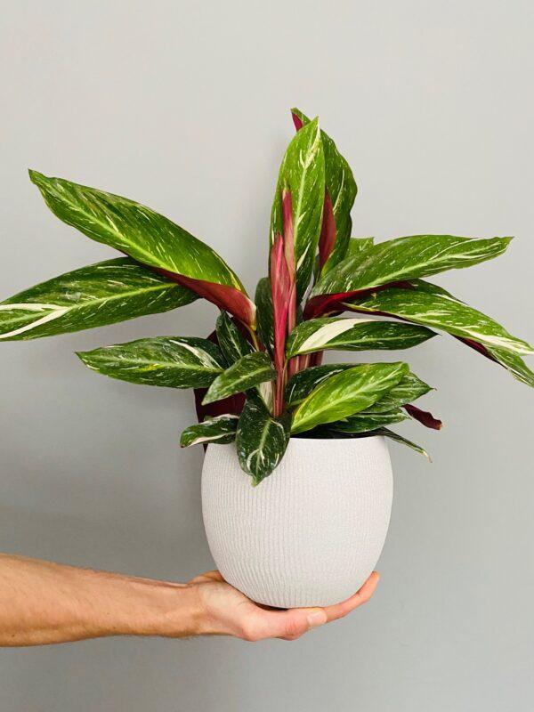 Ceramiczna, fakturowana osłonka w kolorze szarnym, z rośliną stromante Magic star