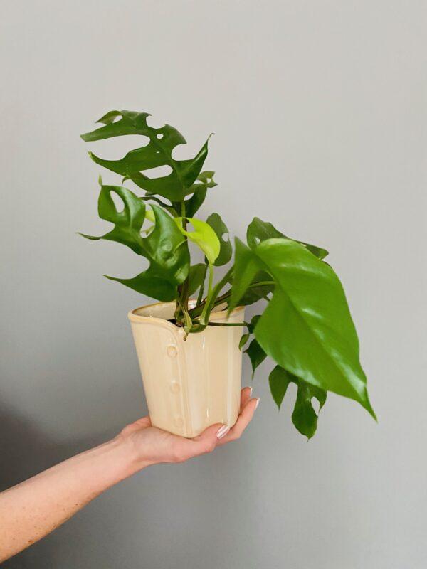 Ceramiczna osłonka w kolorze beżowym, z rośliną monstera minima
