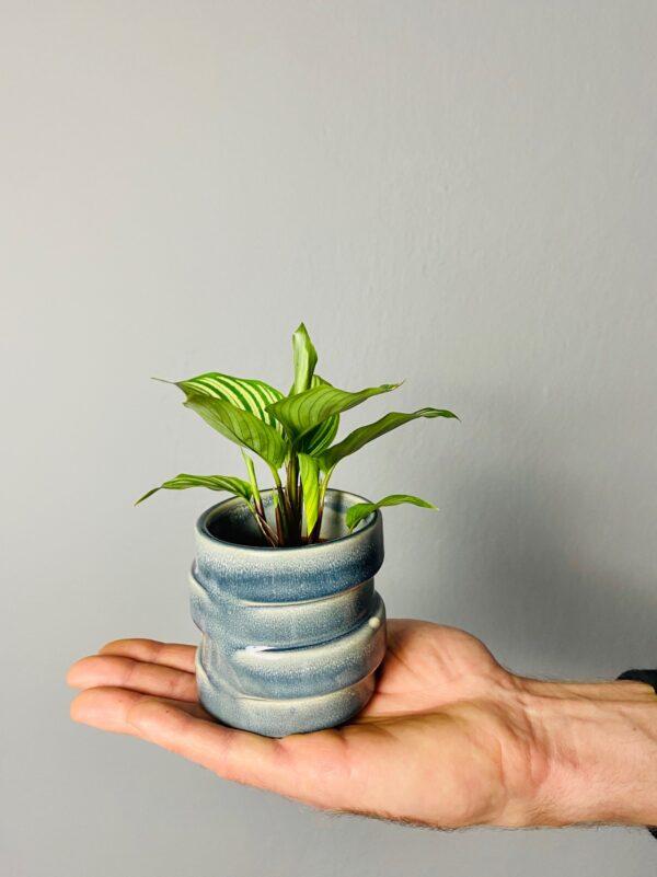 Niebieska, ceramiczna osłonka z przetarciami, CALATHEA ELLIPTICA VITTATA