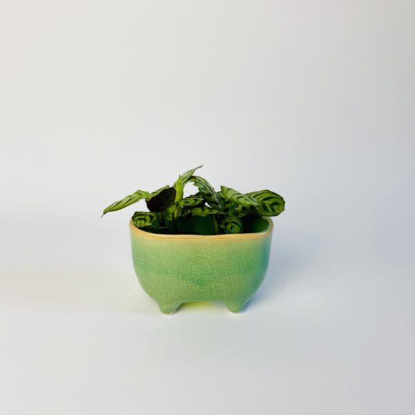 Zielona osłonka na nóżkach wanienka, Ctenanthe burle-marxii