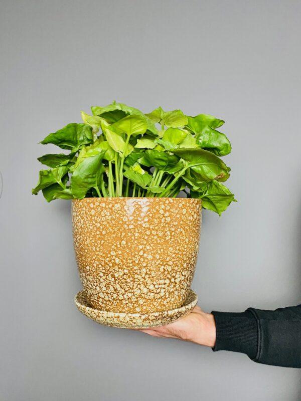 Brązowa doniczka w stylu retro, Syngonium Roxana