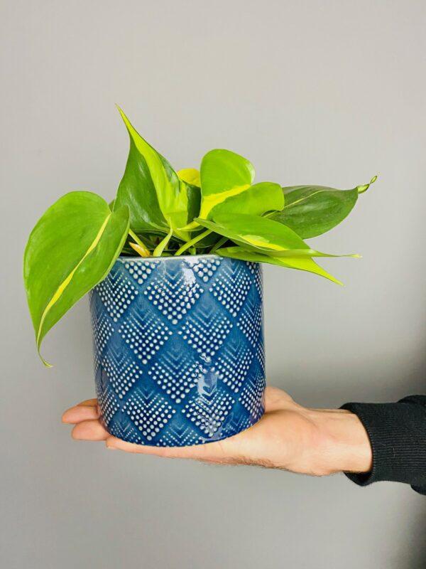 Dekoracyjna, niebieska osłonka, filodendron skandensn Brasil