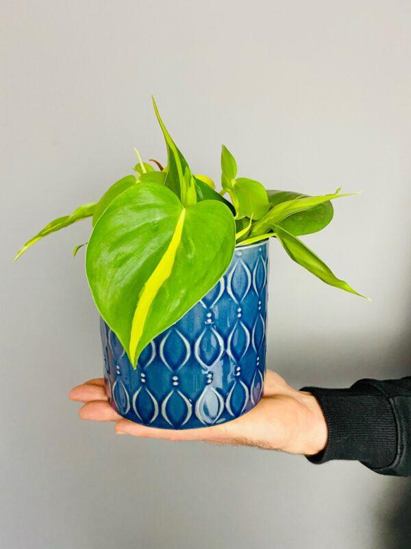 Dekorayjna, niebieska osłonka, filodendron skandensn Brasil