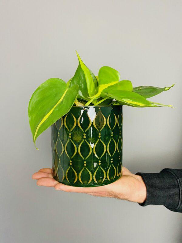 Dekoracyjna, zielona osłonka, filodendron scansens Brasil