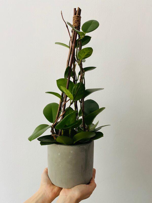 Betonowa osłonka na rośliny, Hoya austalis