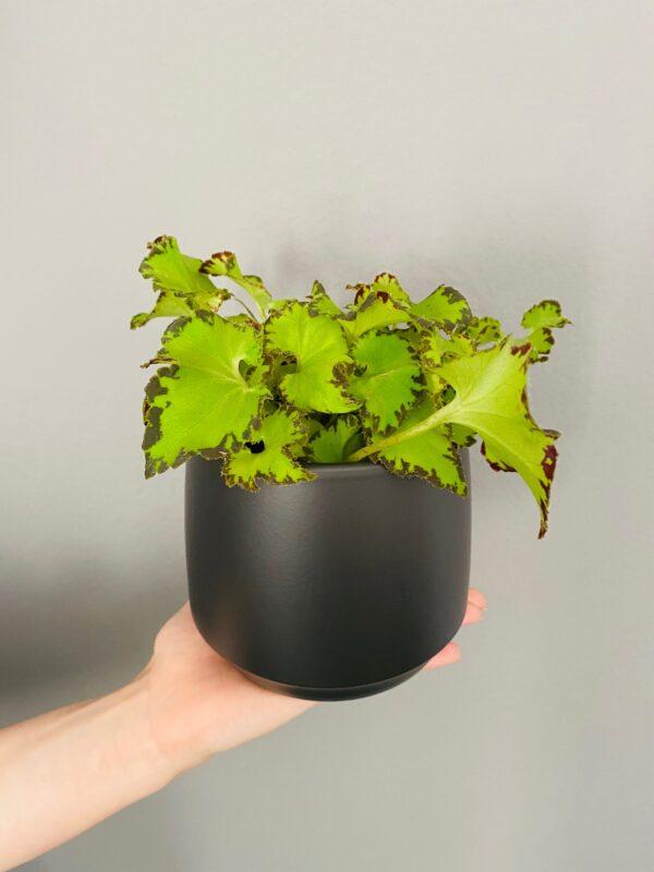Antracytowa, ceramiczna osłonka basic, Begonia Rex
