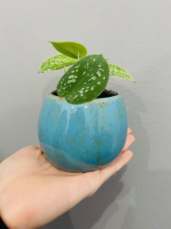 Niebieska, ceramiczna, szkliwiona osłonka, Scindapsus pictus Argyraeus