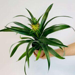 Ananas roślina doniczkowa