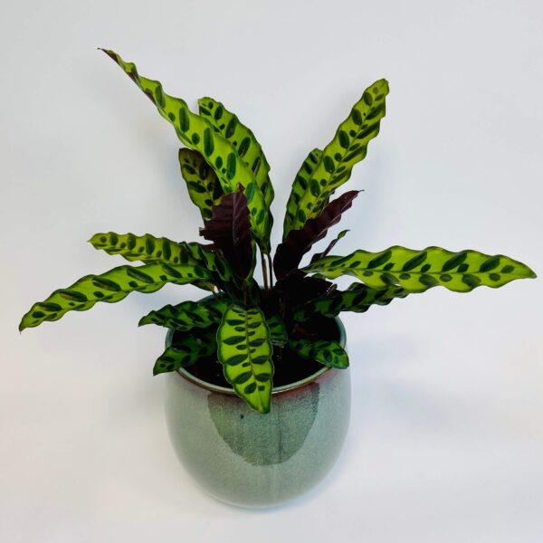 Roślina doniczkowa Calathea lancifolia