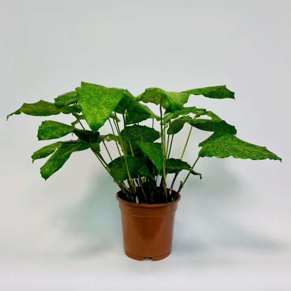Roślina doniczkowa Calathea musaica 'Network'