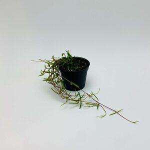 Roślina doniczkowa Ceropegia linearis 'String of Needles'