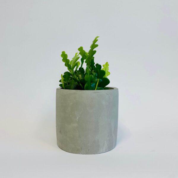 Roślina doniczkowa Epiphyllum angulier w betonowej osłonce