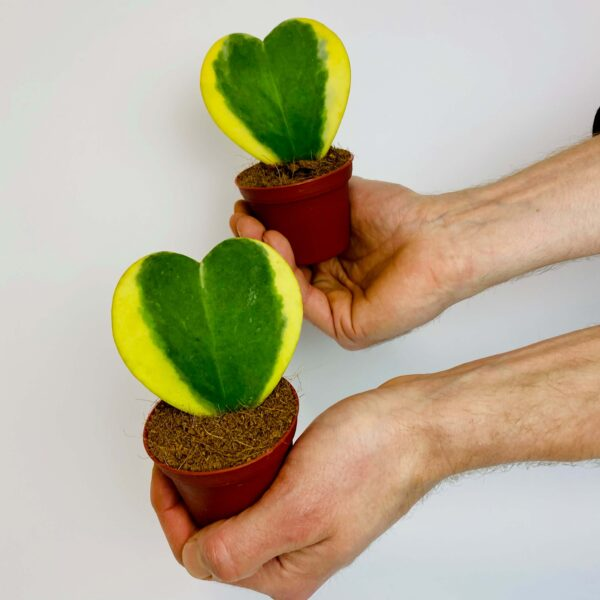 Roślina doniczkowa Hoya kerrii 'Variegata'