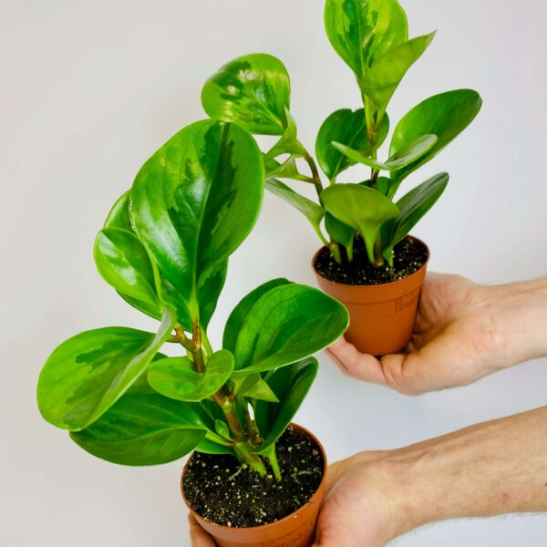 Roślina doniczkowa Peperomia obtusifolia