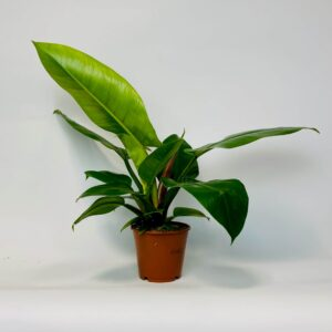 Roślina doniczkowa Philodendron 'Imperial Green'