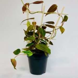Roślina doniczkowa Philodendron scandens 'Micans'