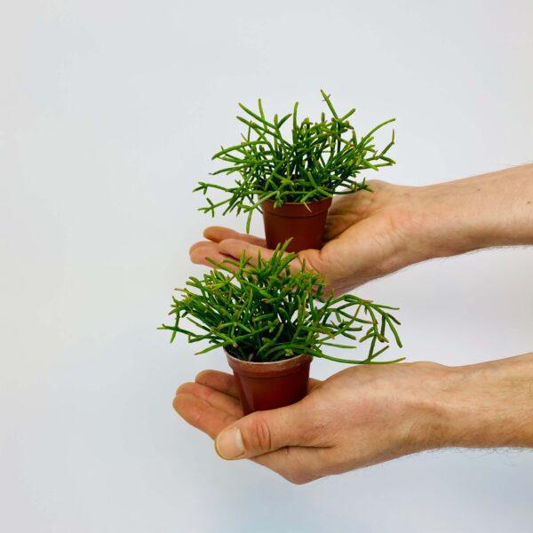 Roślina doniczkowa Rhipsalis cassutha