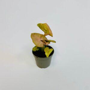 Roślina doniczkowa Syngonium 'Neon Robusta'