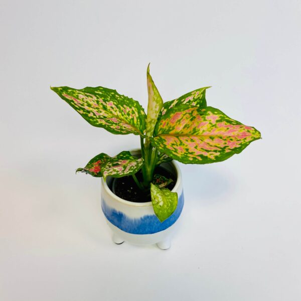 Aglaonema 'Lucky Red'