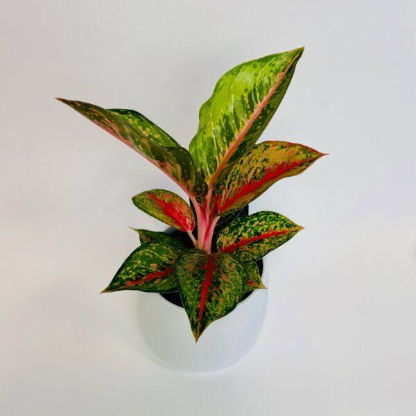 Roślina w osłonce Aglaonema 'Red'