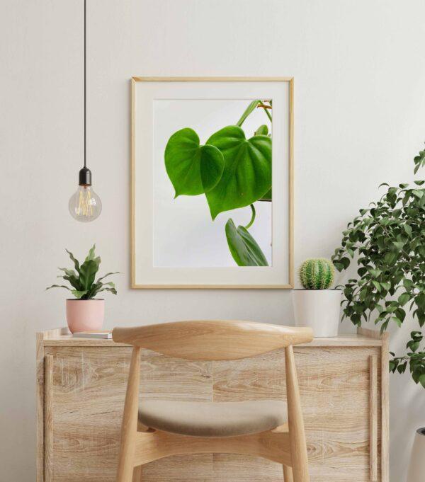 Plakat z motywem liści filodendrona pnącego