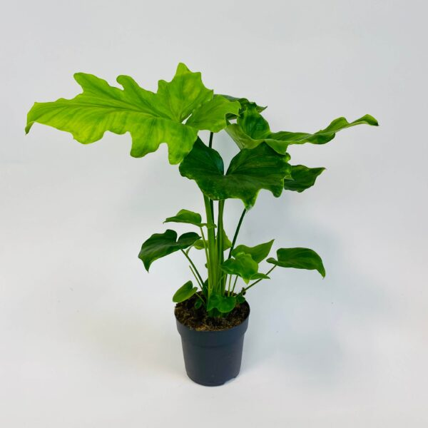 Philodendron solleum 'Hope'