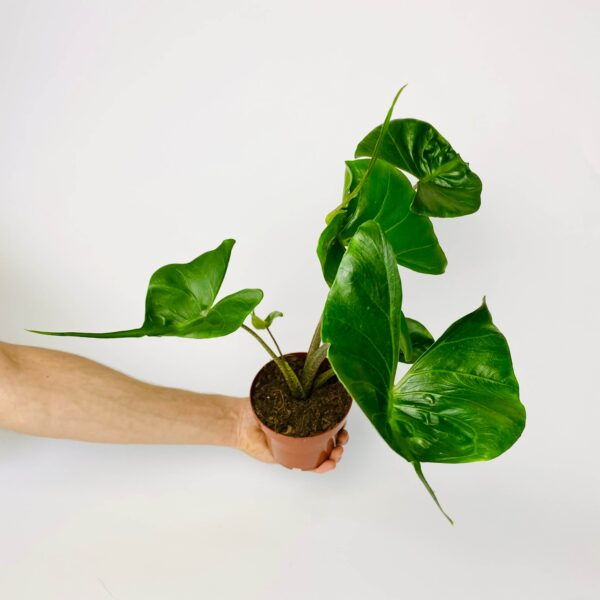 Alocasia macrorrhiza Stingray