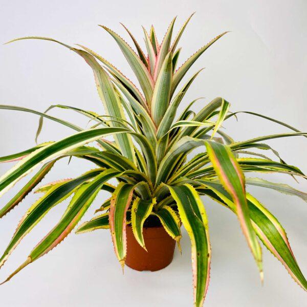 Ananas Bont