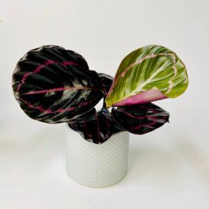 Calathea Rosepicta Rosey