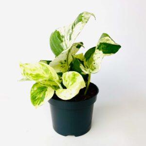 Epipremnum pinnatum 'Happy Leaf