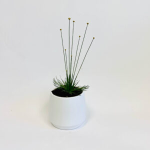 Mikado Syngonanthus