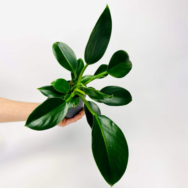 Philodendron Green Princes