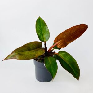 Philodendron 'Red sun'