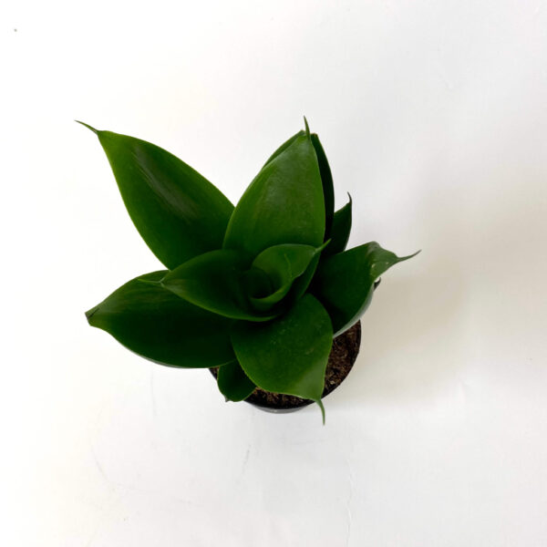 Sansevieria Black Jade